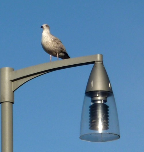 34-southport-juv-gull-on-lamp.jpg