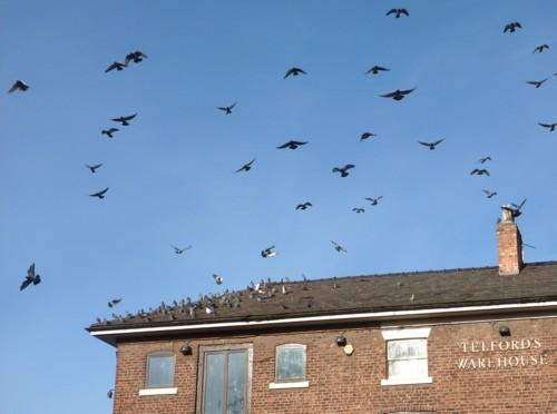35-chester-pigeons.jpg