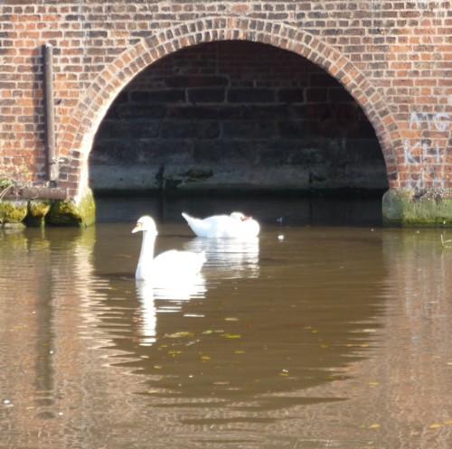 35-chester-swans.jpg