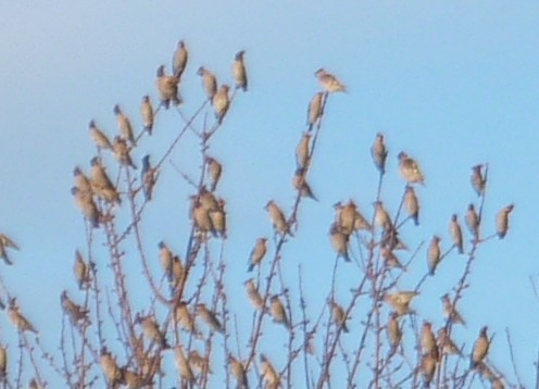 35-wednesday-waxwings-2.jpg