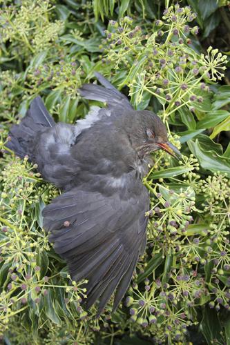 mna-blackbird-corpse1.jpg