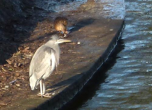 03-newsham-park-heron.jpg