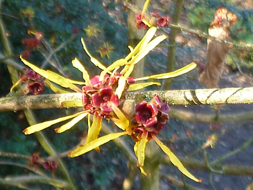 06-witch-hazel.jpg