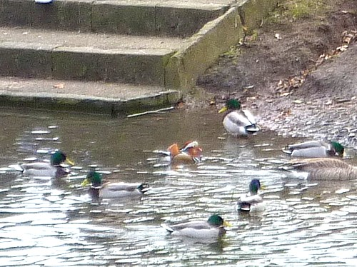 07-stanley-duck-group.jpg