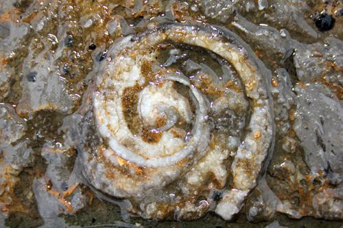 mna-fossil-gastropod.jpg