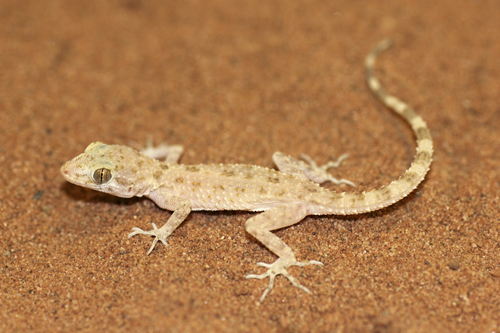 mna-rough-tailed-bowfoot-gecko1.jpg