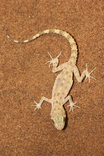 mna-rough-tailed-bowfoot-gecko2.jpg