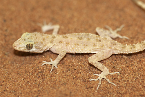 mna-rough-tailed-bowfoot-gecko3.jpg