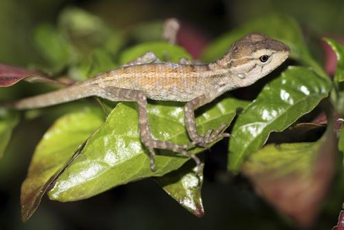 mna-sri-lanka-lizard1.jpg