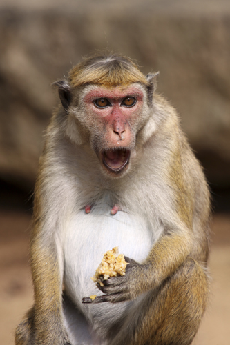 mna-sri-lanka-macaque1.jpg