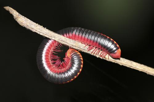 mna-sri-lanka-red-black-millipede1.jpg