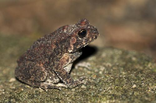 mna-sri-lanka-toad1.jpg