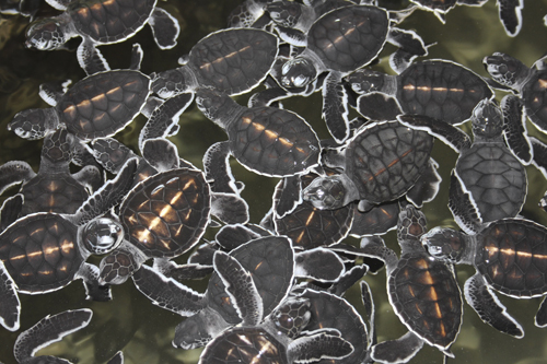 mna-sri-lanka-turtles1.jpg