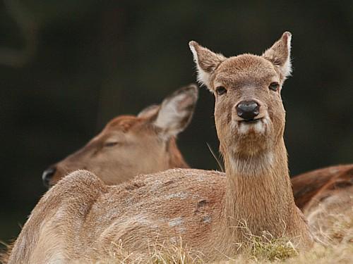 002-sika-deer.JPG