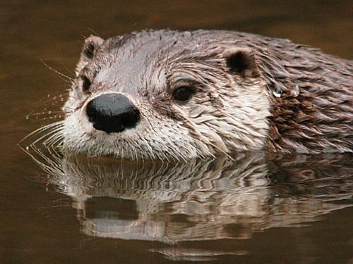 003-american-river-otter.JPG