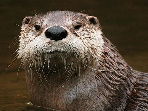 004-american-river-otter.JPG