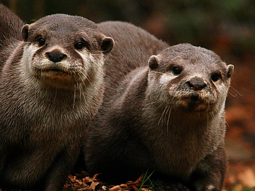 005-asian-short-clawed-otter.JPG