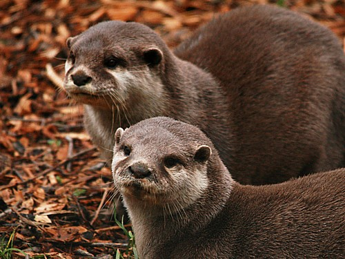 006-asian-short-clawed-otter.JPG