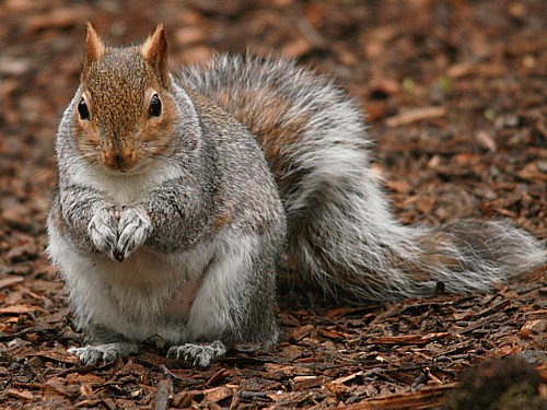 007-grey-squirrel.JPG