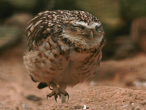 010-burrowing-owl.JPG