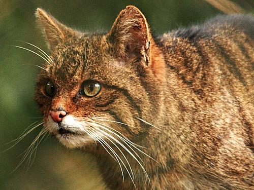 016-wild-cat.JPG