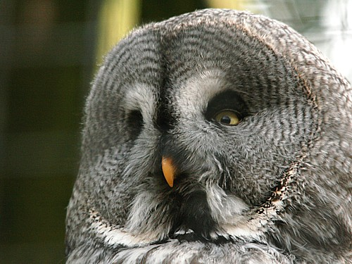 018-great-grey-owl.JPG