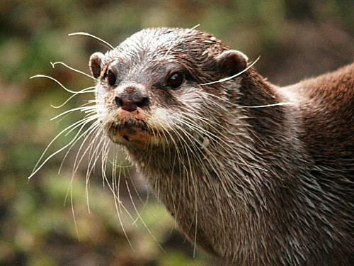 019-asian-short-clawed-otter.JPG