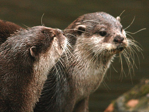 020-asian-short-clawed-otter.JPG