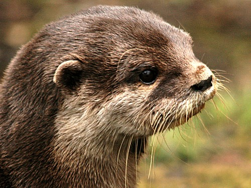 021-asian-short-clawed-otter.JPG