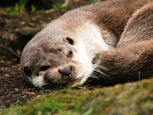 022-asian-short-clawed-otter.JPG