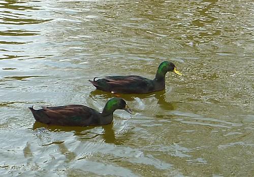 09-birk-park-black-ducks.jpg