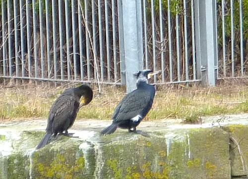 10-canal-1-cormorants.jpg