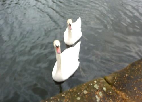 10-canal-1-swans.jpg