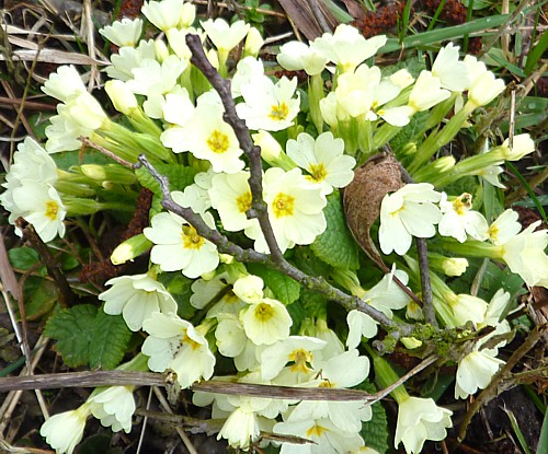 11-waterfront-primroses.jpg