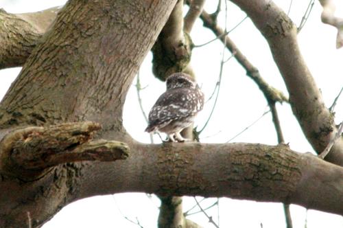 mna-chrisd-little-owl.jpg
