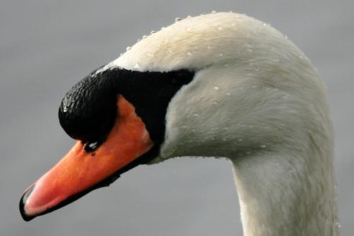 mna-chrisd-mute-swan.jpg