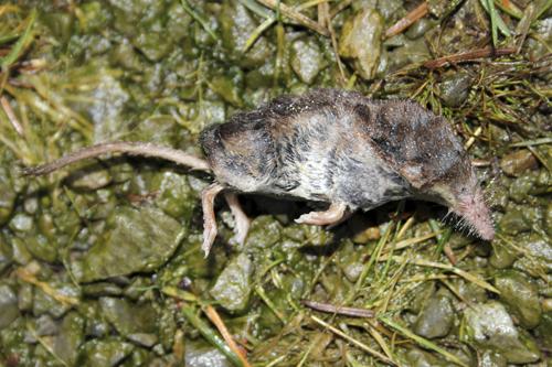 mna-vyrnwy-dead-pygmy-shrew1.jpg