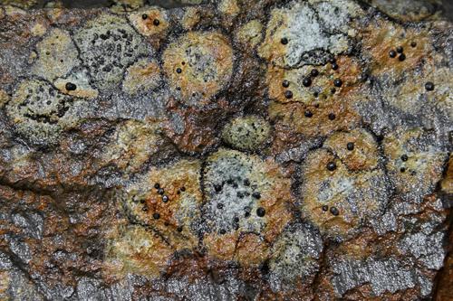 mna-vyrnwy-rhizocarpon-lichen1.jpg