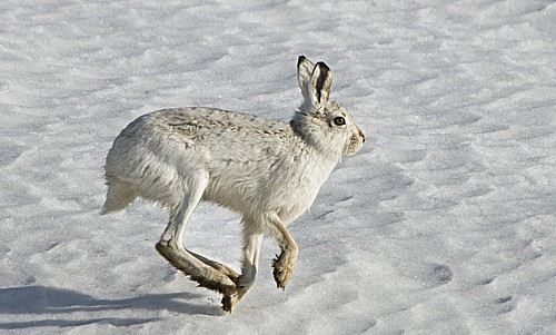 mountain-hare-1a.jpg