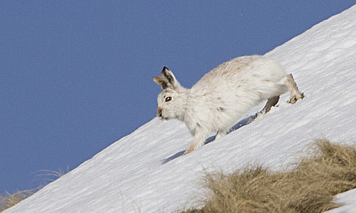 mountain-hare-2.jpg