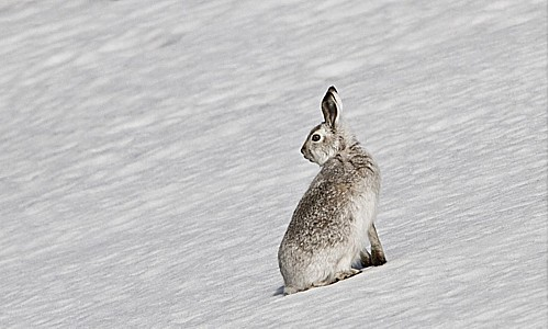 mountain-hare-3.jpg