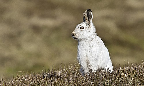 mountain-hare-4.jpg