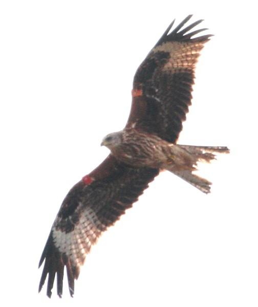 016 Red Kite