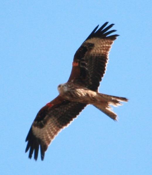 018 Red Kite