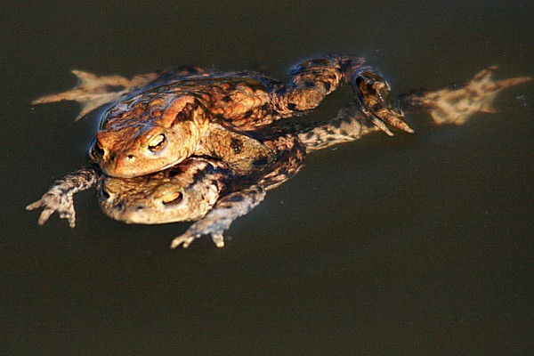 02 Common toad