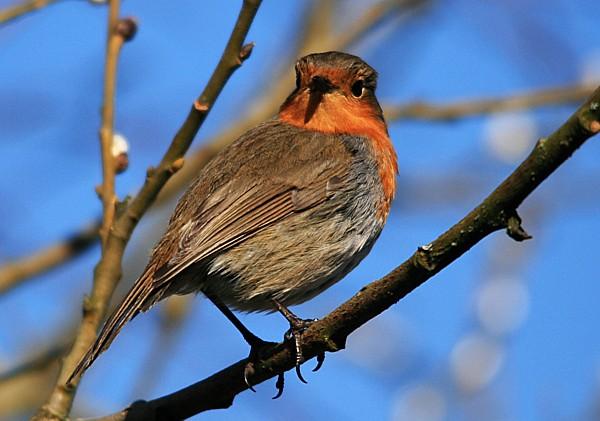 06 Robin