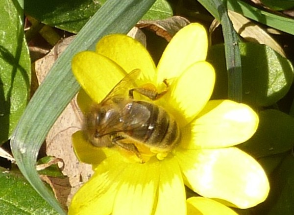 13 Wirral Way Colletes bee