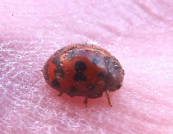 13 Wirral Way ladybird