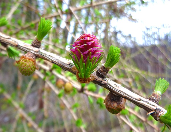 15 Canal 2 Larch flower