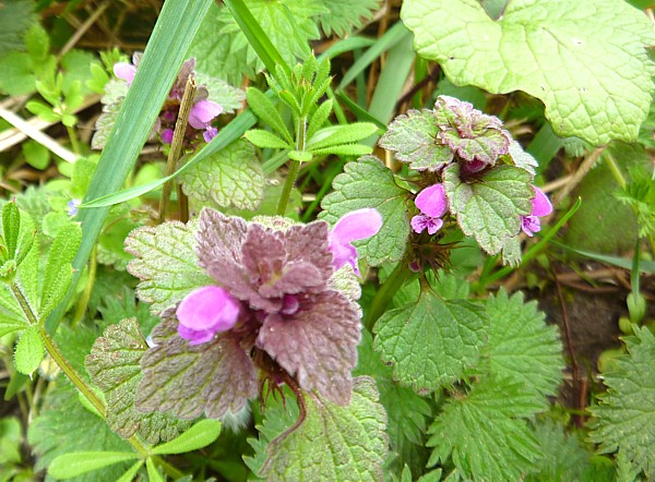 17 Lydiate red dead nettle